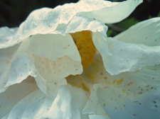 Inverness_fried_egg_flower_closeup