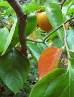 Persimmon_tree_1