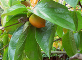 Persimmon_tree_enfold