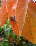 Persimmon_tree_spider